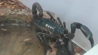 Scorpion drinking water  - Video