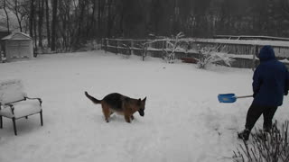 Excited German Shepherd loves to play in the snow