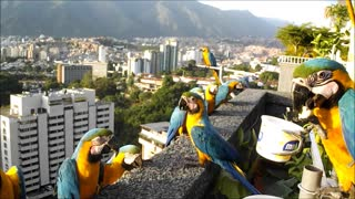 Wild Macaws Come for a Visit - Video
