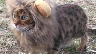 cat looks like lion so cute kitty 2020 - Video