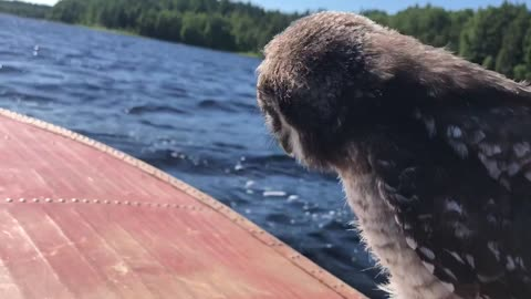 Baby hawk owl goes for scenic boat ride
