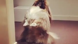 Dog plays hide and seek with his owners - Video