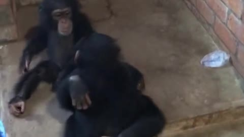 Chimps Welcomes Their New Friend In The Cutest Way