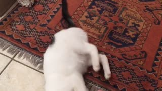 Guy plays with white kitten in a bathroom with his foot  - Video