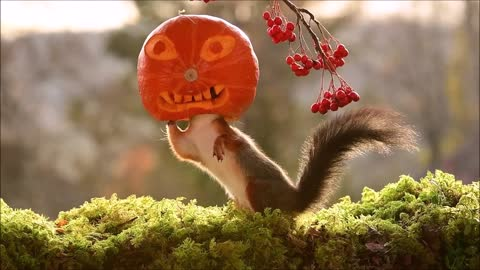 squirrel the pumpkin
