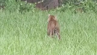 Battle Between Baby Alligator and Bobcat
