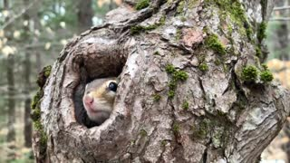 Chipmunk Comes Back for Close-Up