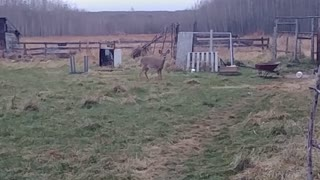 Playful deer chases and herds chickens into their coop
