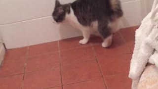 Cat confused by white tail - Video