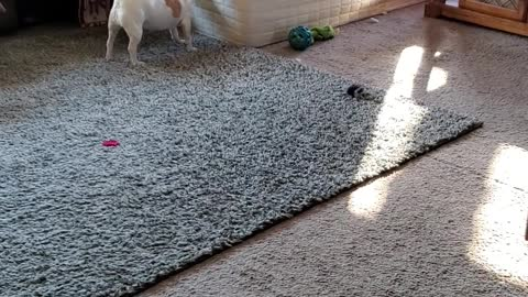 Australian cattle dog with the zoomies