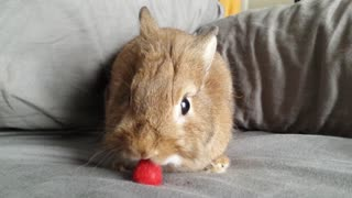 This Tiny Bunny Tried Raspberry For The First Time And Totally Loved It  - Video
