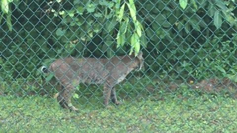 Bobcat Makes Visit to Florida Backyard