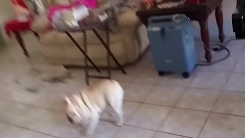 French Bulldog Meets a Mirror and Gets Mad