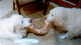 Golden Retrievers fight for possession!  - Video