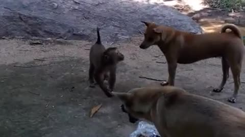 When dogs and monkeys rob each other's food