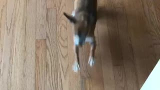 Brown dog running around excited to go to starbucks  - Video