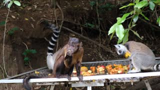 How monkeys are fed.