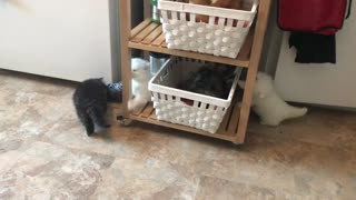 Persian cute kittens playing with each other - Video