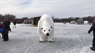 Polar bear gets down on a frozen lake