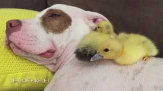 Rescue puppy naps with foster ducklings
