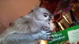Tame Monkey Shows Us Wild Survivor Skills  - Video