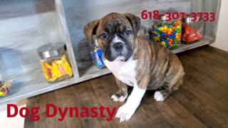 Female Olde English Bulldogge Female