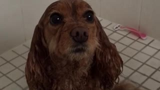 Dog sits comfortably in shower - Video