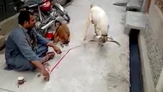 Street entertainer of goat and monkey  - Video