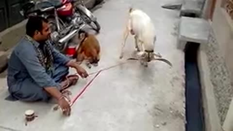 Street entertainer of goat and monkey