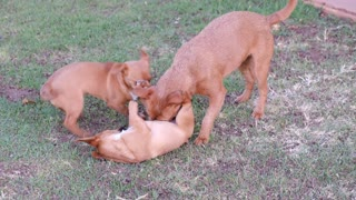 Dogs Playing With Each Other so cute