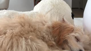 Brown dog asleep white couch fire on tv - Video