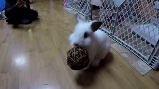 Bunny loves to bounce his willow ball - Video