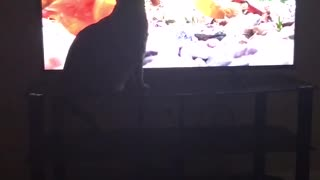 Cat standing in front of tv with a bunch of birds on on show