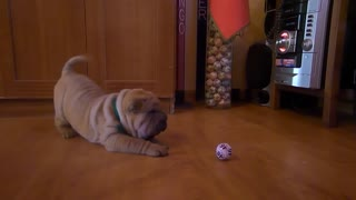 Shar Pei puppy adorably skeptical of ball