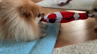 Pomeranians engage in epic tug-of-war game over toy fish