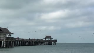 Great Flock of Pelicans Enjoying a Morning at the Shore