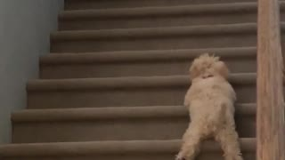 Small brown dog learning to climb stairs - Video