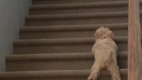 Small brown dog learning to climb stairs