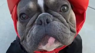 French Bulldog dresses as boxing champ for Halloween - Video