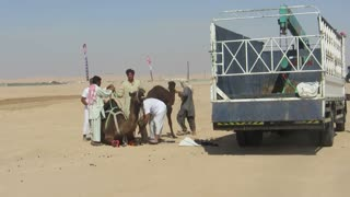 Loading Camels in mini truck with crane for CAMEL FESTIVAL  - Video