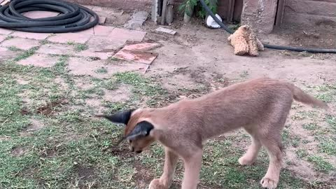 Caracal decides to play with food instead of eat it
