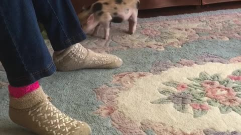 Adorable Piglet Playing With Grandma