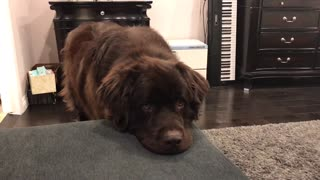 Massive Pooch Puts Puppy Eyes Into Action To Get What He Wants - Video