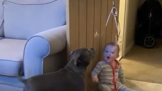 Baby can't stop laughing at dog chasing balloon