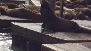 One seal forces another off dock pier 39 - Video