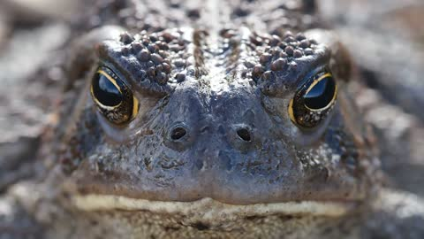 Black Eye Crocodile Focus On His Pray