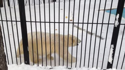 Playful bear slides down snowy hill