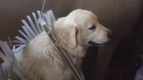 Woman Confronts Guilty Dog Who Pulled Down Window Blinds