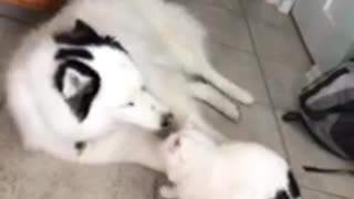 Alpha cat slams husky to the ground