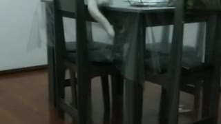 Cat Fails to Jump onto Table Resulting in Chair Crash